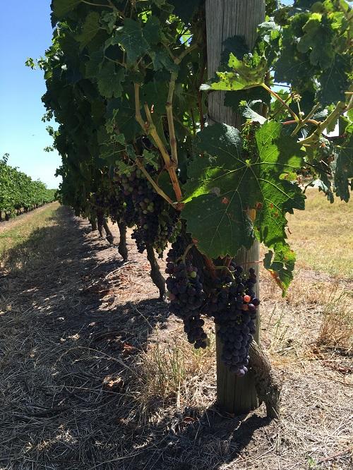 Vines - 01